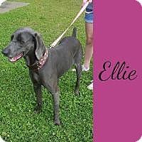 Adopt A Pet :: Ellie - Fayetteville, AR