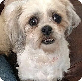 Shih Tzu Mix Dog for adoption in San Diego, California - Summer