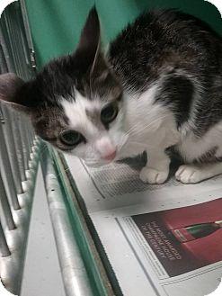 Domestic Shorthair Kitten for adoption in Elizabeth, New Jersey - Calico kitten