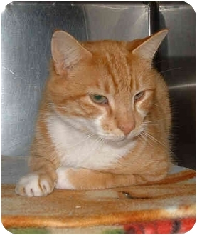Domestic Shorthair Cat for adoption in Honesdale, Pennsylvania - Kitty D.