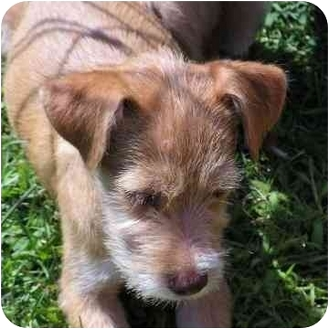 Wirehaired Fox Terrier Puppy for adoption in Brodheadsville, Pennsylvania - Lacy