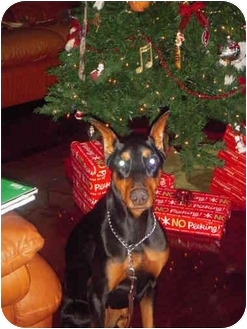 Doberman Pinscher Dog for adoption in Green Cove Springs, Florida - Stormy