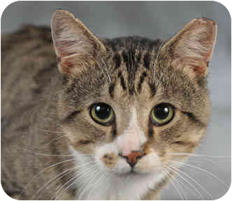 Domestic Shorthair Cat for adoption in Chicago, Illinois - Jake