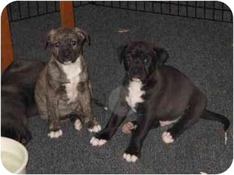 Labrador Retriever Mix Puppy for adoption in Northville, Michigan - Birdie