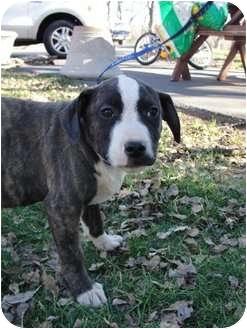 American Staffordshire Terrier/Hound (Unknown Type) Mix Puppy for adoption in Sacramento, California - Reindeer Boy Pups!