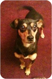 Chihuahua/Miniature Pinscher Mix Dog for adoption in Spring Valley, New York - Lucy
