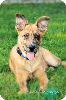 Catahoula Leopard Dog/Shepherd (Unknown Type) Mix Puppy for adoption in Franklin, Tennessee - Charley