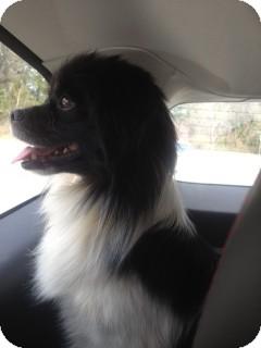 Cavalier King Charles Spaniel/Pekingese Mix Dog for adoption in Greensboro, Georgia - Grant