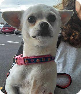 Chihuahua/Pug Mix Dog for adoption in Seattle, Washington - Nakita - FOSTER NEEDED