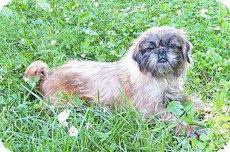 Pekingese/Brussels Griffon Mix Dog for adoption in Mocksville, North Carolina - Haagen-Dazs