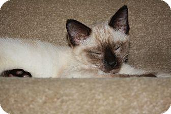 Siamese Kitten for adoption in Hendersonville, Tennessee - Arya