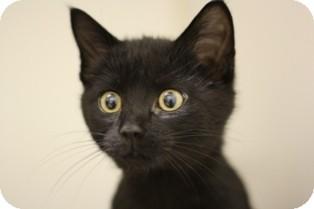 Domestic Shorthair Kitten for adoption in Lloydminster, Alberta - Ninja