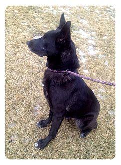 German Shepherd Dog Dog for adoption in Mill Creek, Washington - Sasha