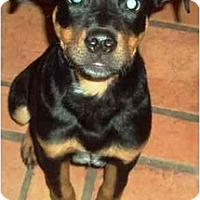 Adopt A Pet :: Harlee - Gilbert, AZ