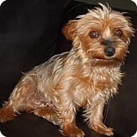 Adopt A Pet :: Felicity - dewey, AZ