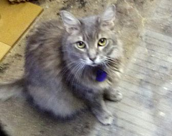 Domestic Longhair Cat for adoption in Pasadena, California - Griffin