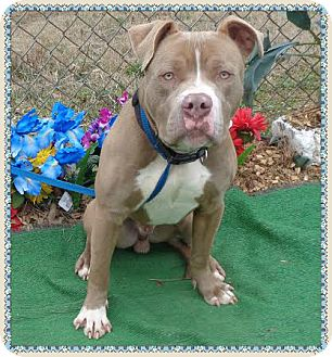 American Pit Bull Terrier Mix Dog for adoption in Marietta, Georgia - CREW -see video - very sweet