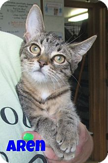 Domestic Shorthair Kitten for adoption in Menomonie, Wisconsin - Aren