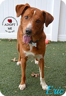 Australian Cattle Dog/Labrador Retriever Mix Dog for adoption in Youngwood, Pennsylvania - Eric