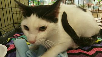 Turkish Van Cat for adoption in Rosemead, California - Thumper