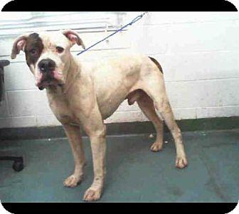 American Bulldog Mix Dog for adoption in Dallas, Texas - Angus