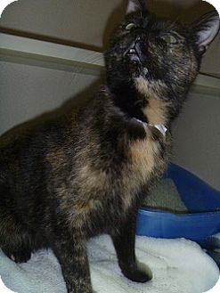 Domestic Shorthair Cat for adoption in Hamburg, New York - Alexis