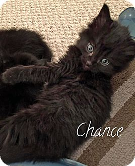 Domestic Mediumhair Kitten for adoption in Troy, Michigan - Chance