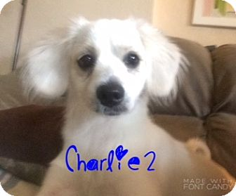 American Eskimo Dog/Cocker Spaniel Mix Puppy for adoption in Miami, Florida - Charlie2