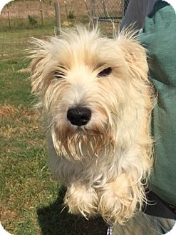 Terrier (Unknown Type, Small)/Westie, West Highland White Terrier Mix Dog for adoption in Powder Springs, Georgia - Leonard