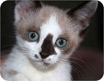 Siamese Kitten for adoption in Huntley, Illinois - Ana