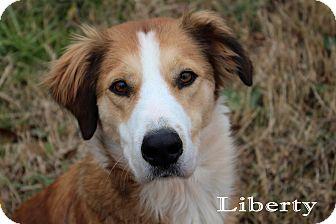 English Shepherd Dog for adoption in Texarkana, Arkansas - Liberty