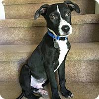 Adopt A Pet :: Charlie - PORTLAND, ME