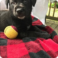 German Shepherd Dog Mix Puppy for adoption in Nashua, New Hampshire - Forest