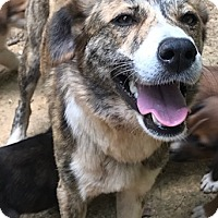 Adopt A Pet :: Bella - Charlotte, NC