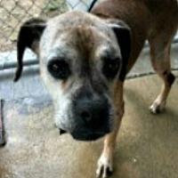 Adopt A Pet :: Golden Girl - Austin, TX