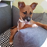 Toy Fox Terrier/Terrier (Unknown Type, Small) Mix Puppy for adoption in Fairfax, Virginia - Lucas