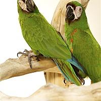 Macaw for adoption in Elizabeth, Colorado - Jezebel