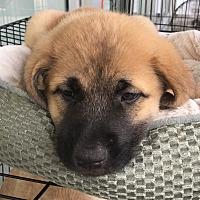 Adopt A Pet :: Eli - Monticello, GA