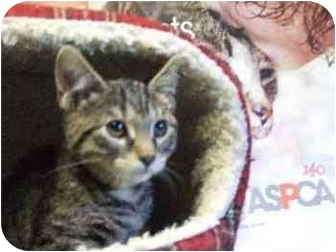 Domestic Shorthair Kitten for adoption in Mason City, Iowa - Jane