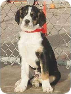 English Springer Spaniel/Retriever (Unknown Type) Mix Puppy for adoption in Austin, Minnesota - Oliver