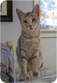 Domestic Shorthair Kitten for adoption in Ottawa, Illinois - Laura