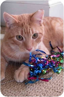 Domestic Shorthair Cat for adoption in Jenkintown, Pennsylvania - Sparky