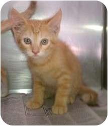 Domestic Shorthair Kitten for adoption in Huffman, Texas - Sunrise