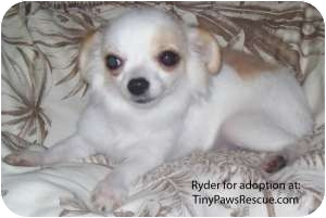 Chihuahua Puppy for adoption in New Milford, Connecticut - Ryder