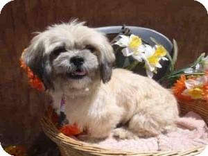 Shih Tzu Mix Dog for adoption in Encino, California - Marley