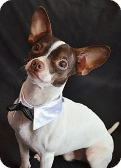 Chihuahua Mix Dog for adoption in Bridgeton, Missouri - Sawyer