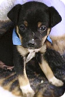 Beagle/Chihuahua Mix Puppy for adoption in Oswego, Illinois - Lil Bear