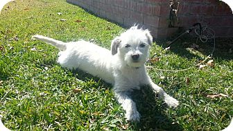 Maltese/Terrier (Unknown Type, Small) Mix Dog for adoption in Irvine, California - Sweet SOPHIE, tiny!