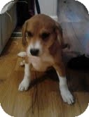 Beagle/Spaniel (Unknown Type) Mix Puppy for adoption in Staunton, Virginia - Ted
