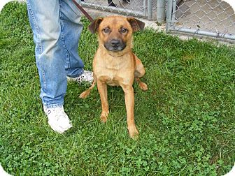 Black Mouth Cur/Shepherd (Unknown Type) Mix Puppy for adoption in Ironton, Ohio - 41283